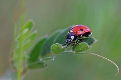 Coccinellidae - Ladybug - Coccinelle (Sbastien Vermande) Tags: canon7d france midipyrnes lot bokeh macro spring printemps nature wild macrophotography insect insectmacro macrolens macrophotographie sigma150macroexdg sigmaapoteleconverter14xexdg vermande