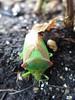 Grüner Käfer. (Heidi zu Klampen) Tags: käfer wanze grün tarnung insekt natur garten erde pflanzen fühler sommer sonnenlicht outdoor makro tag deutschland berlin