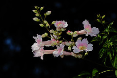 Fiori (Franco Gavioli) Tags: 2016 fragavio francesco gavioli canoneos600d canonef100mmf28macrousm yongnuoyn568exiiettl augusta sicilia sicily fiore flower macro