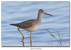 Grand chevalier / Greater Yellowlegs 153A9828 (salmo52) Tags: oiseaux birds salmo52 alaincharette grandchevalier greateryellowlegs tringamelanoleuca limicoles shorebirds pointeyamachiche scolopacids scolopacidae