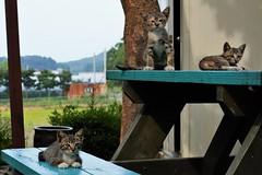 Curious, Sleepy, Angry (Yeong-N) Tags:         asia korea southkorea incheon janggyeongnibeach janggyeongni animal cat cats cute