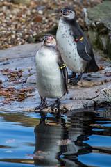 Chester Zoo (lenmidgham) Tags: bird penguin upton england unitedkingdom gb