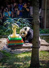 2016 Panda Party-1253 (Lora J Photography) Tags: meixiang fonz wesavespecies nationalzoo wearefonz