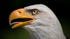 Bald Eagle enjoys the sun (Saarblitz) Tags: bald eagle weisskopfseeadler greifvogel outdoor tier sonne sommer