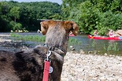 untitled (everything.glorious) Tags: dog river canoes mansbestfriend catahoula catahoulamix rescuedog adopted nature outdoors