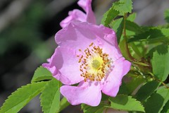Wild Rose (Patricia Henschen) Tags: banff banffnationalpark parks parcs canada alberta lakelouise lake clouds mountains canadian rockies northern rockymountains rose rosaceae wildflowers wildflower rosa lakeshore trail