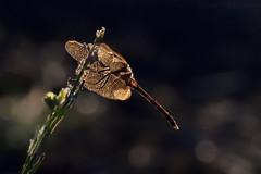 The mysterious dragon-fly (Beatriz-c) Tags: dragonfly liblula fulel golden dorado grass hierba planta plant flower flor bokeh nature naturaleza summer sunset verano atardecer contraluz backlight