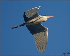 _DSC5943 Swartkopreier (johann.spies) Tags: ardeamelanocephala blackheadedheron swartkopreier woodbridgeisland birdsinflight vols volsinvlug