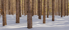 Streamers (Aaron Springer) Tags: michigan northernmichigan woodland forest pine tree snow sunlight shadow winter outdoor nature landscape panoramic