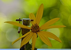 A Zombie Lego Man Returns  From a Flower Picking Mission (ricko) Tags: flower legoman zombie toy werehere 270366 2016