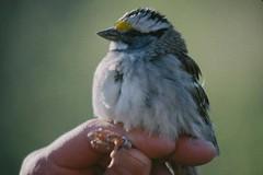 Lesser Slave Lake - Bird Banding (Alberta Parks) Tags: lesserslavelakeprovincialpark slavelake alberta bird birdbanding sparrow whitethroatedsparrow science research monitoring