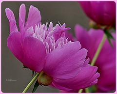 Pfingstrose - Paeonia (Karabelso) Tags: flower blossom macro pink paeonie blume blüte makro pfingstrose panasonic gx7