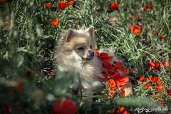 IMG_0769 (giraffes_fly) Tags: poppies poppyfield poppy poppydog dogportrait dogphotography summer redpoppies