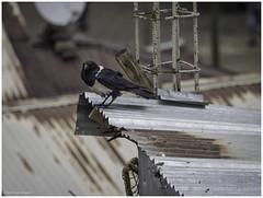 Thick-billed Raven, Ethiopian Endemic (Luc V. de Zeeuw) Tags: bird endemic ethiopia ethiopian raven thickbilledraven