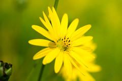 DSC01049.jpg (chagendo) Tags: pflanze makro makrofotografie sonyalpha7ii 90m28g outdoor