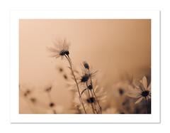 (Susan Pau) Tags: flowers abstract layers frame sepia blur
