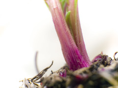 Sprout (marina_felix) Tags: beetroot sprout pink green purple black high key macro