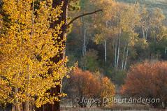 Palouse Autumn II (jamesdelbertanderson) Tags: palouse fall autumn aspen quakingaspen populustremuloides washington pnw nature whitmancounty