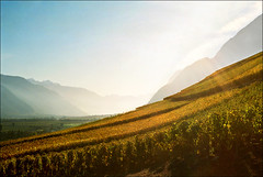 Vineyard (Katarina 2353) Tags: landscape vineyard sion switzerland swiss autumn katarina2353 katarinastefanovic film nikon