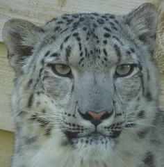 Snow Leopard (E&T - Photography) Tags: sony dsc cybershot hx90 scotland schotland england engeland great britain animal snow leopard eye eyes expression face fur green print panthera uncia highland wildlife park white black endangered species staring beautiful looking closeup portrait strong head cat et big carnivore mammal