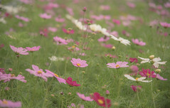 DSC_8769 (megumi.ram) Tags: japan nikon flower cosmos shiga pink