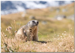 MAMOTTA (ric.artur) Tags: marmotta animali nikon naturalmente natura piemonte