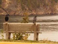 image (proulxrita) Tags: ravens bench kootenay lake perched