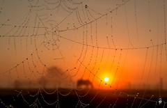 A Horse with No Name,......... (@FTW FoToWillem) Tags: spider spiderweb natuur nature fog foggy mist misty landscape landschap holland hollanda holandes hollande betuwe sun sunrise fotowillem ftw willemvernooy ochtend morning nederland netherlands horse paard web spinnenweb dauw nikon d7100 zon zonsopkomst sunshine