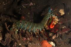 Tulamben muck diving (cathm2) Tags: indonesia bali tulamben scuba diving underwater wildlife nature macro