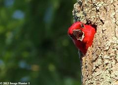 Red-headed Woodpecker - Bayou Courtableau, Louisiana (Image Hunter 1) Tags: blue tree green woodpecker hole nest beak bark greenery redheadedwoodpecker canoneos7d cypressislandpreserve bayoucourtableau