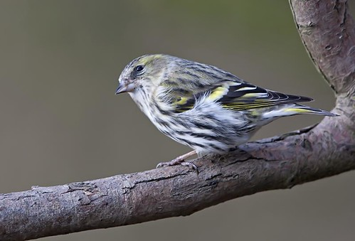 Siskin (female)