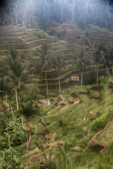 Rice Paddies (MomentaryShutter) Tags: bali indonesia asia rice grain crop crops grains agriculture hdr digitallyenhanced agronomy tegallalang tegalallalang jalanpakuduitegallalangtegallalang80561baliindonesia