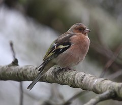 Chaffinch Explored (Rosemarie.s.w) Tags: bird wings wildlife beak feathers somerset chaffinch