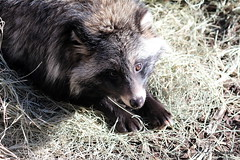 Tanuki aka Asian Raccoon Dogs either Loki or Thor (beachkat1) Tags: tanuki zooatlanta raccoondogs