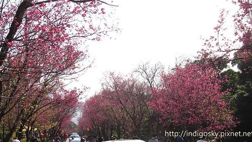 北投賞櫻-IMG_8452