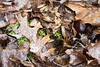 "Red oak leaf, moss, Tuliptree ""petals"", Skunk cabbage • <a style=""font-size:0.8em;"" href=""http://www.flickr.com/photos/92887964@N02/8496493484/"" target=""_blank"">View on Flickr</a>"