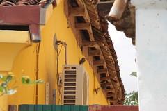 les 3 chevêches brame (shervaux) Tags: india bird oiseau tamilnadu inde spottedowlet athenebrama thirupugalurvillage