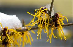 Und nun? Winter oder Frhling ... (Prinz Wilbert) Tags: schnee winter snow plant primavera yellow ja