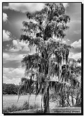 """Pine-Spanish Moss Tree"" (robert (Bobby)powell) Tags: blackandwhite usa nature pinetree clouds landscape yahoo google flickr florida olympus images lee spanishmoss fl bing leecounty naturephotography southwestflorida fortmyersfl freelancephotographer leecountyfl flickriver leecountyflorida flickrfromyahoo robertbobbypowell imagesofflorida"
