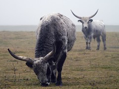 szrkemarhk a kdben / Hungarian grey cattle in the fog (.e.e.e.) Tags: fog explore manualfocus milc micro43 microfourthirds jupiter11lens4135 panasoniclumixg3