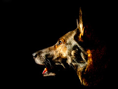 Dexie (Sarah J O'Dell) Tags: dexter germanshepherd gsd pixelbender