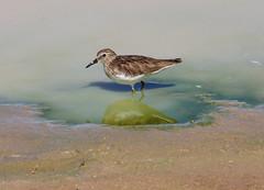 Least Sandpiper (Calidris minutilla); Wilcox, AZ, Twin Lakes [Lou Feltz] (deserttoad) Tags: arizona lake plant reflection bird nature water desert wildlife sandpiper shorebird wildbird