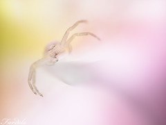 Flying in my Paradise - Crab spider - Misumena vatia (Fardels.) Tags: spider crab araa cangrejo misumena vatia macrolife