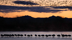 Early Birds (Tn) Tags: mountains newmexico nature birds silhouette clouds sunrise bosquedelapache sandhillcranes snowgeese avianbosquedelapachenewmexiconature