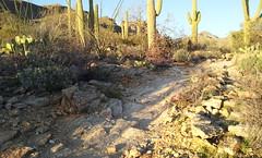 (BlackRockBacon) Tags: camera light arizona cactus beautiful phone desert tucson trail saguaro galaxys2 flickrandroidapp:filter=none