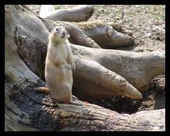 La giovane marmotta (Super Mario Bros1) Tags: zoo albero tronco marmotta salisburgo