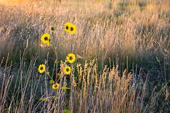 Sunflower Morning (Michael Deleon Photo) Tags: morning flowers autumn orange yellow sunrise flora colorado unitedstates sunflowers grasslands littleton chatfieldstatepark