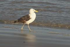 10 (Dwarskerser) Tags: seagull seemeeu dwarskersbos westcoastofsa weskusvansa