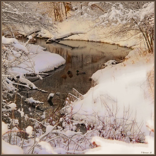 Winter Ducks in the Stream
