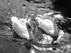 Swans On Black (Marco Di Fabio) Tags: light white lake black blanco luz water birds lago reflex swan agua negro swans reflejo acqua bianco nero luce cisne riflesso cisnes cygnus cigno pajeros anatidi cingi